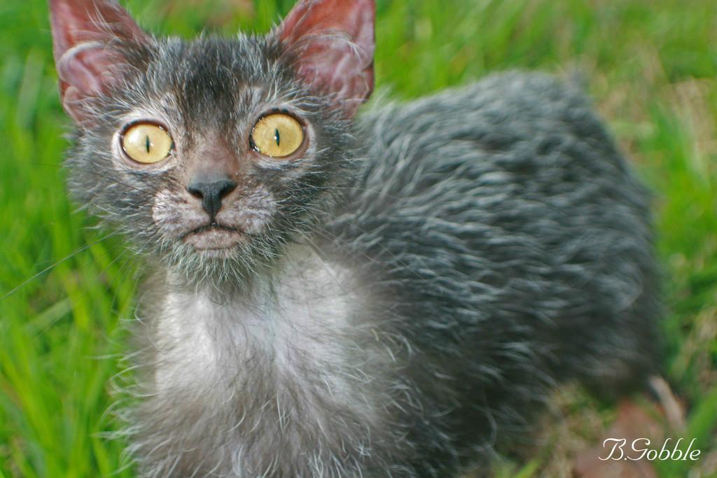 Оборотень кот порода