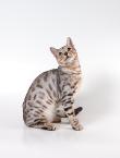 Леопардовый окрас кошек фото - Всё о.