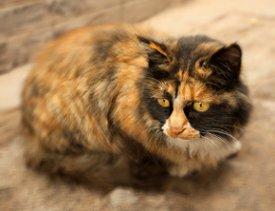 ... окрас кошек фото - Всё b о кошках /b и b котах/b.