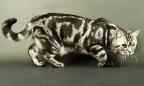 Черепаховый окрас кошек фото - Всё о кошках и котах.