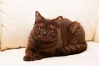 Донской сфинкс кошка.