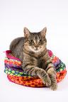 кошка отигровый окрас.  Смотрите также: ярославль котята