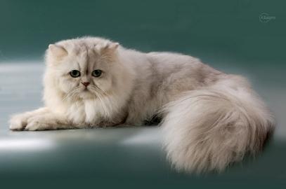 Фото котов персидская шиншилла