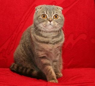 Фотография взята с сайта питомника cat s