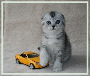 Купить кота шотландец вислоухий
