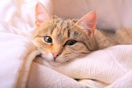 Всё о течке у кошках